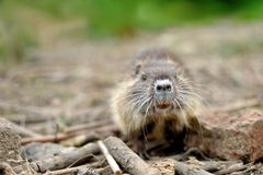Baby coypu Royalty Free Stock Photo