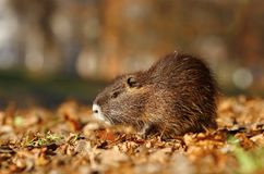 Baby coypu Stock Images