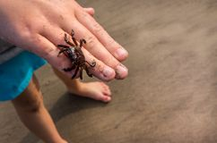Child`s Hand holding Baby Crab on beach. A Baby Crab is called a zoea. Female crabs lay bunches of eggs in the water. Once developed within the egg, the larvae royalty free stock photo