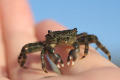Baby crab in hand Royalty Free Stock Photos