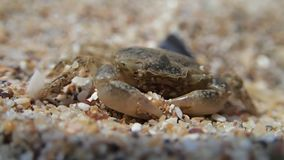 Baby crab moving on sand stock video