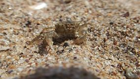 Baby crab on sand stock footage