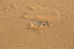 Baby crab on the sea shore Royalty Free Stock Photo