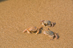 Baby crab on the sea shore Royalty Free Stock Images
