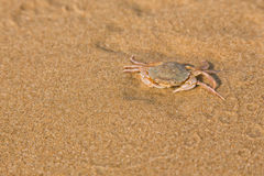 Baby crab on the sea shore Stock Photography