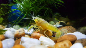 Baby crayfish ghost in aquarium Royalty Free Stock Photos