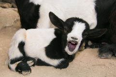 Baby crazy goat with open mouth Royalty Free Stock Image