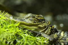 Baby Crocodile. A baby crocodile in a pond Royalty Free Stock Photos