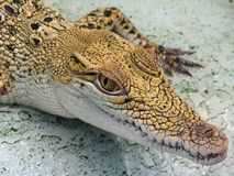 Baby Crocodile. Baby crocodile at crocodile farm Royalty Free Stock Images