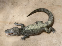 A baby crocodile. Resting on the sand Stock Photo