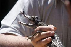 Baby Crocodile. Being held Stock Images