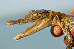 Baby crocodile Stock Photography