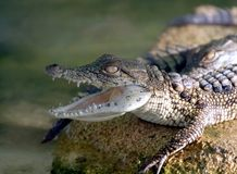 Baby Crocodile from Nilo Stock Photo