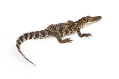 Baby Crocodile Overhead View Royalty Free Stock Photography