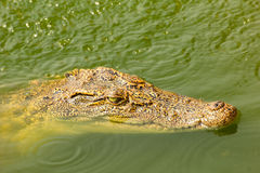 Baby crocodile swimming above water in the wild Royalty Free Stock Photos
