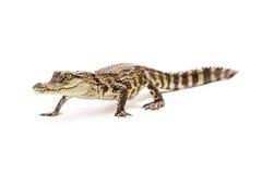 Baby crocodile walking forward Royalty Free Stock Images