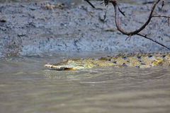 Baby Crocodile in the water Stock Photography