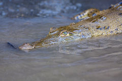 Baby Crocodile in the water Royalty Free Stock Photo