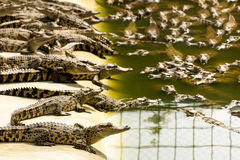 Baby crocodiles in the crocodile farm, Thailand Royalty Free Stock Image