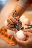 Baby crocodiles Stock Image