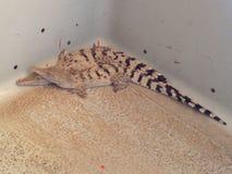 Baby crocodiles Stock Photography