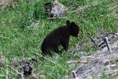 Baby Cub American Black Bear Ursus americanus in Yellowstone National Park in Wyoming Royalty Free Stock Image