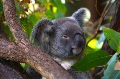 Baby cub Koala on a tree Royalty Free Stock Image