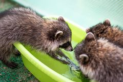 Baby cub raccoon plays with his friends stock photography