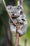 Baby Cube Koala - Joey Royalty Free Stock Photography