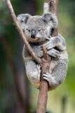 Baby Cube Koala - Joey Royalty Free Stock Photography