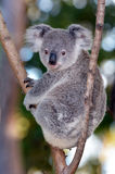Baby Cube Koala - Joey. Baby cub Koala (Phascolarctos cinereus) sit on eucalyptus tree branch in Australia royalty free stock photo