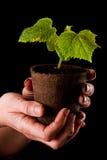 Baby cucumber plant Stock Image