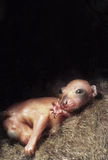 Baby Cuscus. The brown cuscus,Phalanger orientallus, is an inhabitant of Papua New Guinea Stock Photo