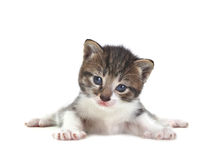 Baby Cute Kitten on a White Background Royalty Free Stock Photo
