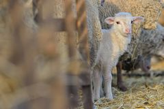 Baby cute lamb in a stable. In spring stock photography