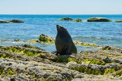Baby cute seal over coastline beach rock royalty free stock images