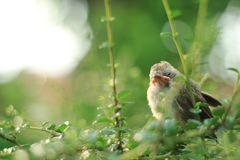 Baby Sparrow on the tree. Baby and cute Sparrow on the tree Royalty Free Stock Photos