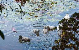 Baby Cygnets on blue water Stock Images