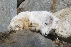 Baby Dall Sheep. A baby call sheep sitting in the spring sun Royalty Free Stock Photography