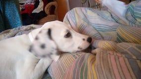 Baby dalmata. Little Dalmata, Black ando white Royalty Free Stock Image