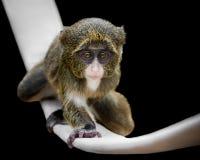 Baby De Brazza ` s猴子VI 库存图片