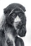 Baby de Brazza's Monkey Στοκ φωτογραφία με δικαίωμα ελεύθερης χρήσης