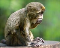 Baby De Brazza's Monkey IV. Profile Portrait of a Baby De Brazza's Monkey stock photos