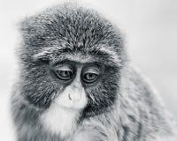 Baby de Brazza's Monkey VI Στοκ εικόνες με δικαίωμα ελεύθερης χρήσης