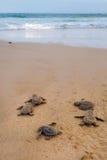 Baby de schildpadden die het is manier aan de oceaan maken Stock Fotografie