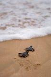 Baby de schildpadden die het is manier aan de oceaan maken Stock Afbeelding