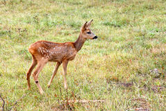 Baby deer Stock Images