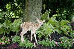 Free Baby Deer Royalty Free Stock Image - 20124456