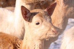 Baby deer. In a herd during winter Stock Photography