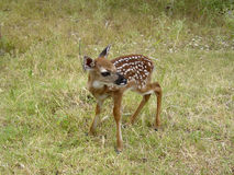 Baby deer. A deer only a few days old Stock Image